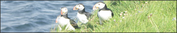 Orkney Islands Scenery - Puffins